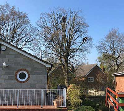 camberley-tree-surgeons-pruning-crown-reductions