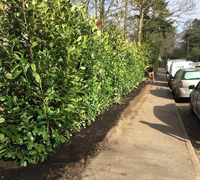 camberley-tree-surgeons-tree-planting-hedge